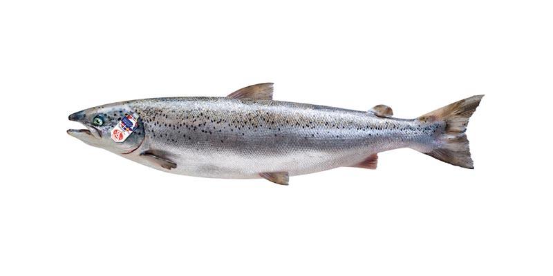 blanc_saumon-ecossais3