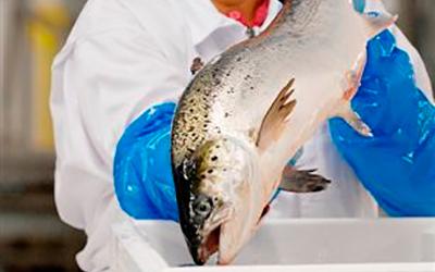 saumon_producteur