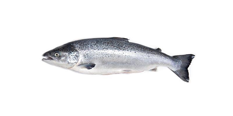 saumon-atlantique